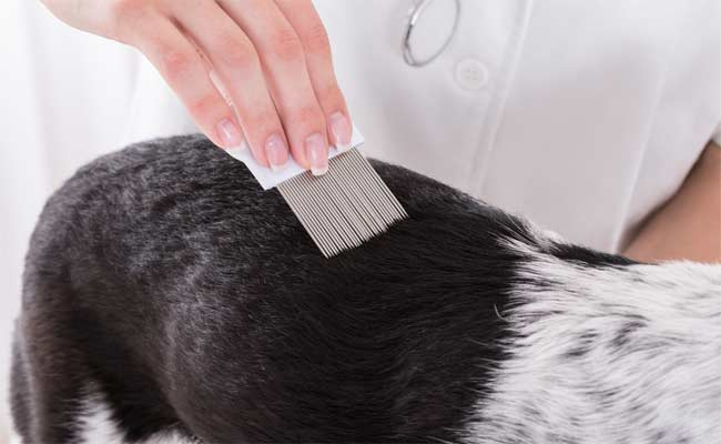 Can Dogs Get Lice?